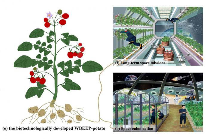 Китайцы предложили выращивать вкосмосе ГМО-картошку свкусной ботвой